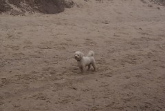 (Skellibobs) Tags: sea mist beach dogs fog coast atmosphere east bichon fret reighton