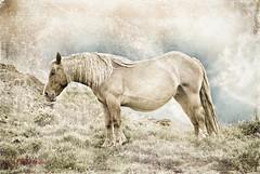 Cantal ( photopade (Nikonist)) Tags: cheval libert cantal theworldwelivein nikond80 memoriesbook internationalflickrawards artistictreasurechest coppercloudsilvernsun mygearandme