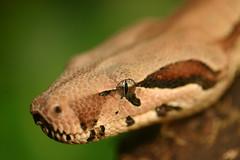 Snake (8ballofwakefield) Tags: animals snake wildlife leeds boa snakes tropicalworld