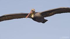Brown Pelican (Bob Stronck) Tags: bird pelican brownpelican seabird santacruzcounty pelecanusoccidentalis cityofsantacruz schwanlagoon schwanlake bobstronck ©rmstronck stronckphoto stronckphotocom birdsofsanfranciscobay