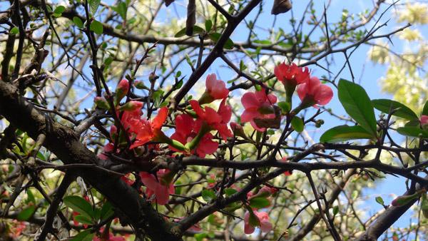 大理玉洱公园桃花