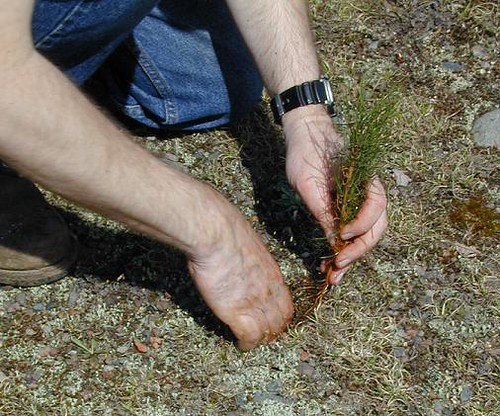 In the U.S., reforestation efforts are taking place across the country from Maine to Hawaii.