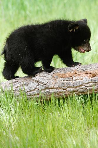 Baby black bear-4.jpg