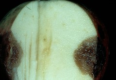 Characteristic V-shaped discoloration is typical of bitter rot. Photo courtesy James W. Travis, Penn State Univ.