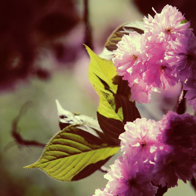 Cerisier fleur