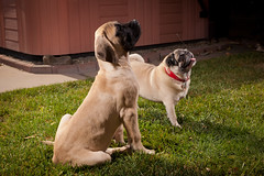 Doggies 7051 (PKMousie) Tags: dog pet pets dogs canon eos englishmastiff mastiff pug tub hottub peaches pugs jamey tubs jameson hottubs mastiffs englishmastiffs 5dmarkii 5dii