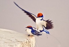 Wire-tailed Swallow (TARIQ HAMEED SULEMANI) Tags: summer nature birds wheat harvest panasonic tariq sunbird wiretailedswallow khanewal lumax concordians sulemani jahanian thewonderfulworldofbirds