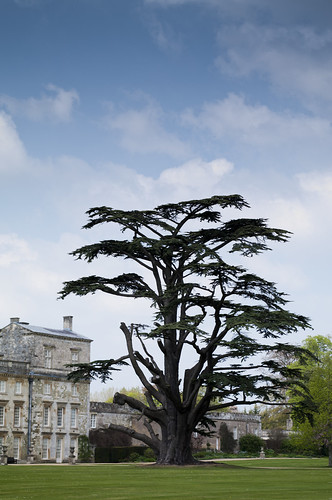 Ancient Cedar at Wilton House - Copyright R.Weal 2011