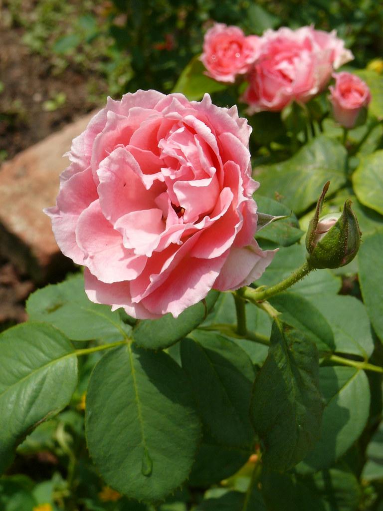 Hoa H?ng Rosa Rosaceae