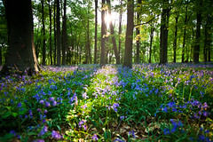 Micheldever Wood Bluebells (Mathew Roberts) Tags: trees light shadow colour bluebells sunrise canon eos iso100 woods mark hampshire ii 5d f28 micheldever 23mm 0125sec hpexif 033ev mathewroberts
