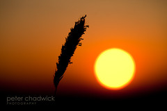 Ra (PeterChad) Tags: sun love nature beauty evening spring corn quiet head joy may rye ear ra sungod setting homage contemplative contemplate tranquillity intosun summertimeuk