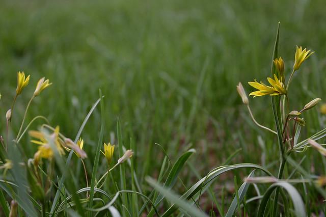 Гусиный лук желтый — Gagea lutea