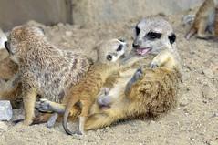 Erdmännchen (Michael Döring) Tags: zoo bismarck gelsenkirchen erdmännchen meerkats d300 zoomerlebniswelt sb900 michaeldöring af80400