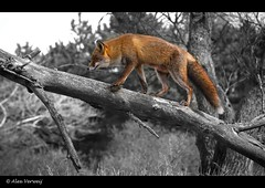 Fox in a tree ... ? (Alex Verweij) Tags: holland tree alex netherlands canon close lucky fox 7d duinen awd vos reinier verweij alexverweij mygearandme jongevos volgdevos