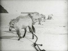 Tethered ponies