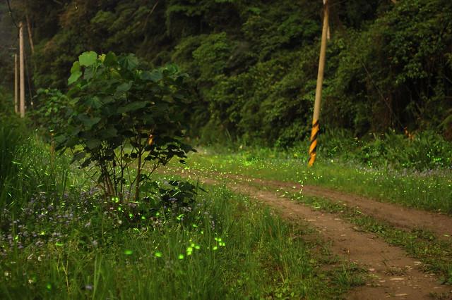 2011.05.07 新竹 / 北埔 / 螢火蟲