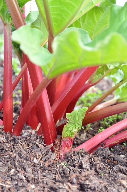 rabarber/rhubarb