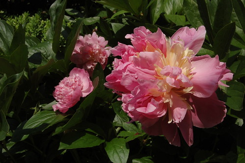 "Paeonia lactiflora ""Sorbet"""