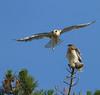 WHITE-TAILED KITES -JUVENILES (sea25bill) Tags: california blue sky usa sun nature spring prey whitetailed kiteselanus leucurusbirdstreebirds