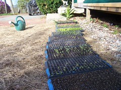 Starts growing well (White Gates Farm) Tags: vegetables garden nh greenhouse veggies tamworth whitegatesfarm