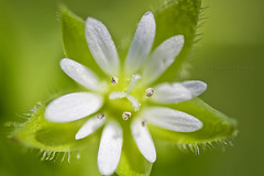 White On Green (Didenze) Tags: white flower detail macro green petals dof bokeh floating explore bulgaria shimmer reversering didenze