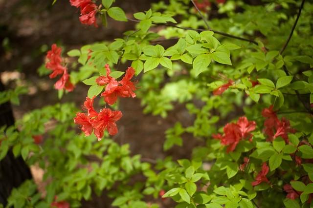 つつじ 白州蒸留所にて Rhododendron at Hakusyu distillery.