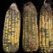 Maize cobs colonized with Aspergillus