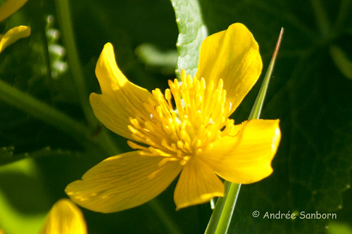 Cowslips (marsh marigold) (Caltha palustris)-5.jpg