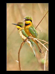 Little Bee-Eaters 7------ Showcased Prestige Natures Front Page (davolly59) Tags: birds ngc npc westafrica gambia thegambia littlebeeeater kotu saariysqualitypictures birdsofthegambia