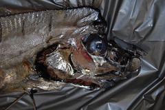 Oarfish (Regalecus glesne) (Littoraria) Tags: fish alabama herring dauphinisland oarfish dauphinislandsealab regalecusglesne regalecidae kingofherring