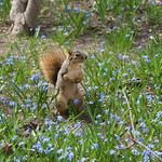 Springtime in Ann Arbor - with Squirrels (University of Michigan - April 21, 2014) thumbnail