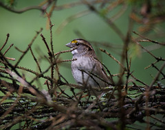 White-throated Sparrow (John Caravella) Tags: october nikon 14x backyard 150600 d500 zonotrichiaalbicollis wisconsin sigmasport bird whitethroatedsparrow 2016 bayside unitedstates us