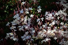 Mis Lilas (pepelara56) Tags: flores lilas naturaleza nature plantas