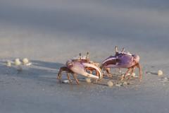 Fiddler Crabs (toryjk) Tags: genusuca fiddlercrab crab nature beach ocean gulfofmexico sanibel sanibelisland captiva captivaisland bunche bunchebeach sand wild tidal