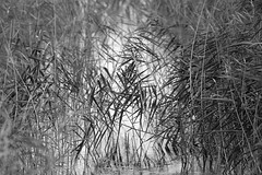 untitled (robwiddowson) Tags: reeds water plants nature natural photo photograph photography image picture robertwiddowson blackandwhite