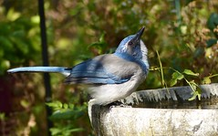 Brand, spanking new ... California Scrub-Jay.  Tossing back a celebratory drink at the local watering hole! (barbara robeson) Tags: barbararobeson danvillecalifornia california scrubjay aphelocomacalifornica bird bath
