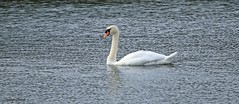 Swan J78A1404 (M0JRA) Tags: birds swans water lakes parks nature reserves ducks