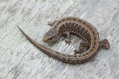 San Francisco Alligator Lizard (Natalie McNear) Tags: reptile lizard sanfranciscobayarea marincounty herping elgariacoeruleacoerulea sanfranciscoalligatorlizard