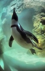 African Penguin (Spheniscus demersus) (dbullens) Tags: usa water penguin yahoo google underwater mystic bing mysticct mysticseaport africanpenguin spheniscusdemersus wow1 wow2 bigmomma donbullens thechallengefactory doublyniceshot tripleniceshot mygearandme mygearandmepremium mygearandmebronze dblringexcellence allnaturesparadise