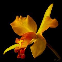 BLC Orchid (ChristopherLeeHewitt) Tags: plants orchid flower color macro nature yellow closeup garden blossom bloom perennial blooming excellence onblack doublefantasy awesomeblossoms ef100mmf28lmacrois