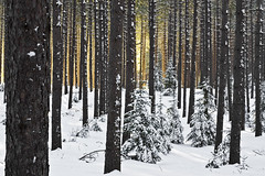 _IGP0050* (Northwoods Photos) Tags: trees sunlight snow cold tree nature wisconsin forest season spring pentax pines forests kar conifers northwoods k redpines