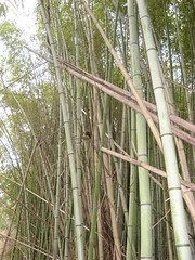 Bamboo along Laurel Bluff Trail