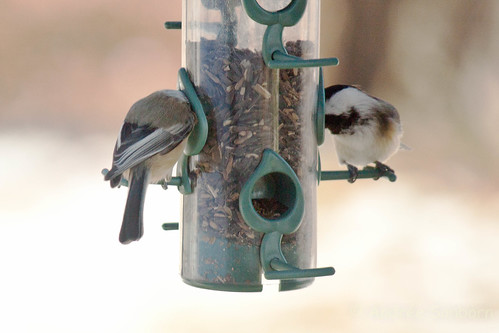 Black-capped chickadee  (17 of 23).jpg