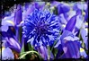 MONDAY BLUES (mutter2009 *OFF*) Tags: blue cornflower bej abigfave anawesomeshot solofotos sognidreams natureframeshot panoramafotográfico mygearandme albumflower koringblom