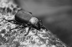 (Rehab Saleh || ) Tags: insect beetle s rehab  canon1855mm      canoneosd400     400