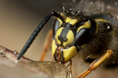 QUEEN COMMON WASP FEEDING #1 (GOLDENORFE) Tags: macro insect wasp vespula commonwasp macroextreme macromarvels macrolife