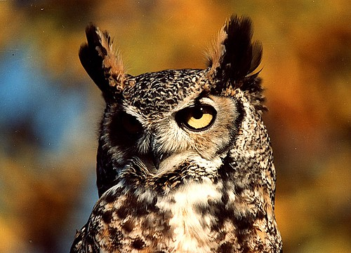 great horned owl brian murphy wc