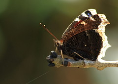 Papillon - le Morio ( Nymphalis antiopa ) (m-idre31) Tags: de sylvie jour
