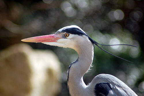 Heron With Hair in the Wind
