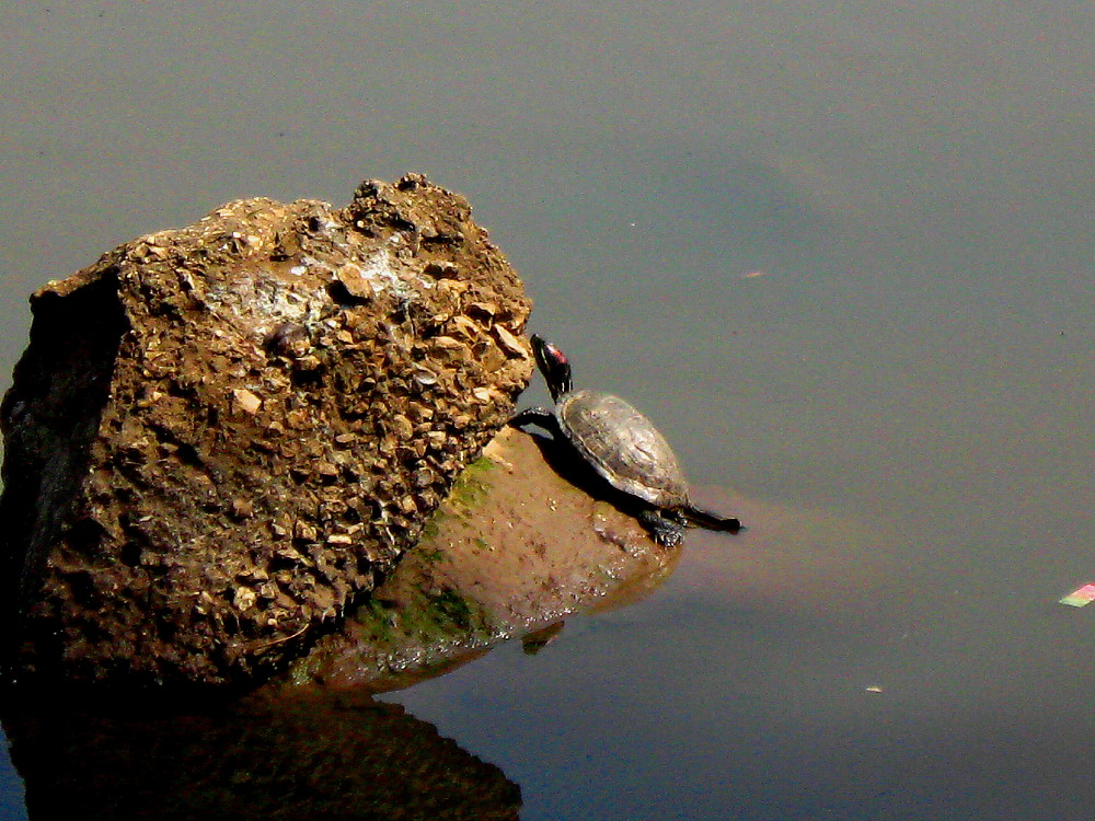31-03-2011-basking-turtle